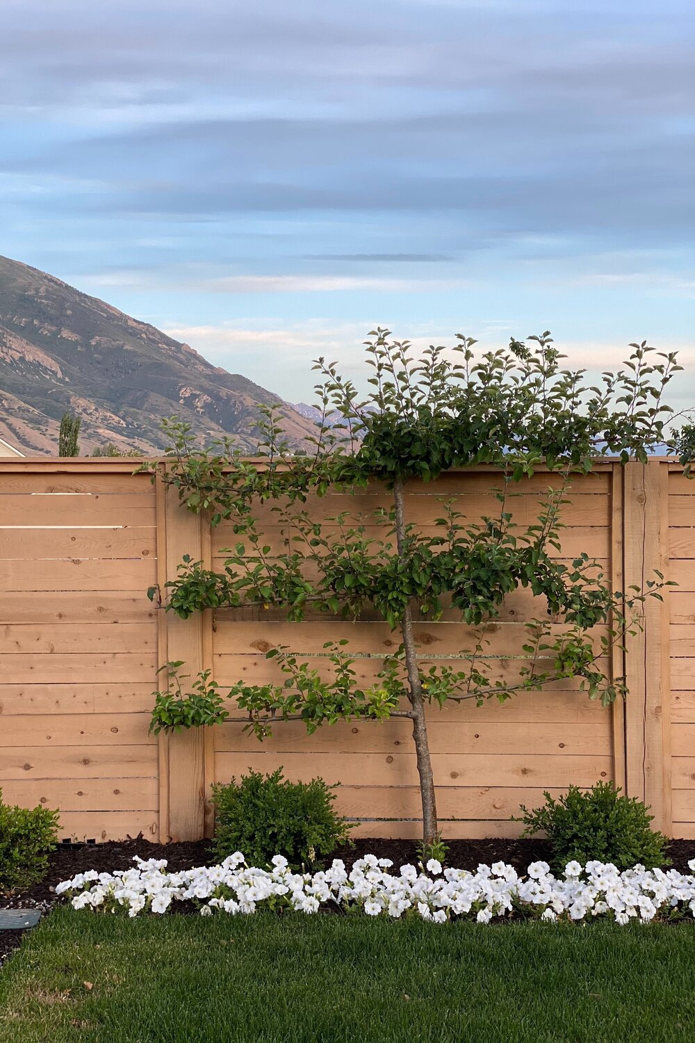 One of our Espalier Apple Trees!