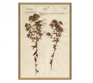 Herbarium Study III